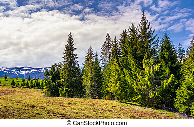 spruce forest under the cloudy sky. beautiful nature scenery...
