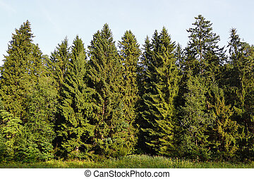 Spruce forest - View of spruce forest on a sunny summer day