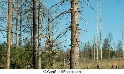 Spruce forests infested and attacked by the European spruce...