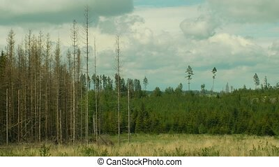 Spruce forests infested drought and attacked by the European...