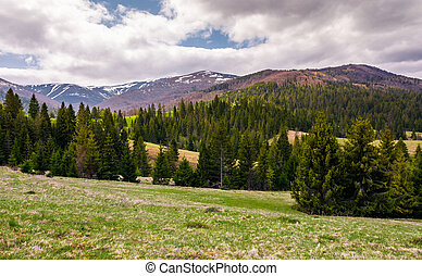 spruce forests on grassy slopes in springtime. beautiful...