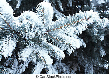 spruce in snow