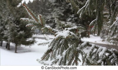 spruce in the snow 1