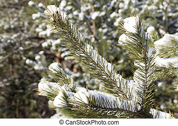spruce in the snow, winter
