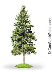 Spruce isolated on white
