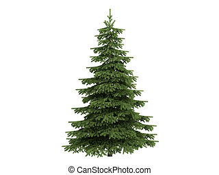 Spruce or Picea - Spruce or latin Picea isolated on white...
