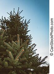 Spruce Tree Branch in Winter