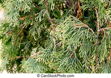 Spruce Tree Branches
