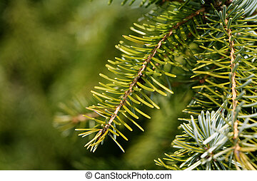 Spruce tree closeup
