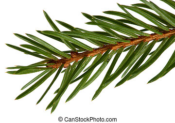 Spruce tree detail - Detail of a spruce tree