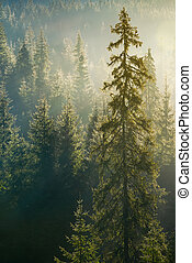 spruce tree in beautiful light. distant forest in morning...