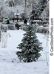 Spruce tree in the winter park