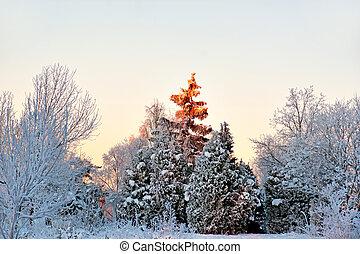 spruce tree in winter landscape