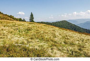 spruce tree on a grassy meadow near the mountain peak. warm...
