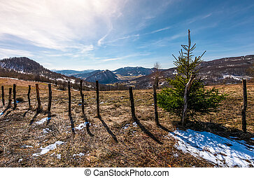spruce tree on a hillside in springtime. beautiful landscape...