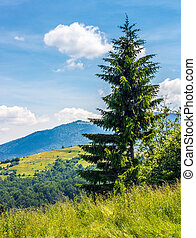 spruce tree on a mountain hill side - spruce tree on a hill...