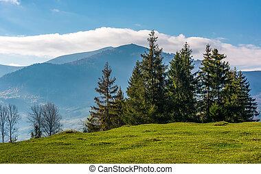 spruce tree on grassy hillside. beautiful landscape in...