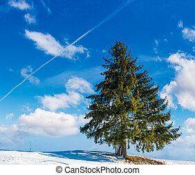 spruce tree on hillside on fine winter weather. beautiful...