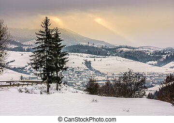 spruce tree on snowy meadow in mountains - spruce forest on...