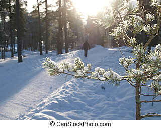 Spruce tree with lumps of snow