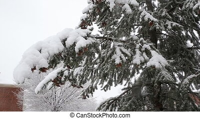 Spruce tree with many cones in a snowstorm. Grey and stormy winter day