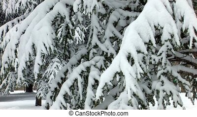 Spruce trees covered by snow