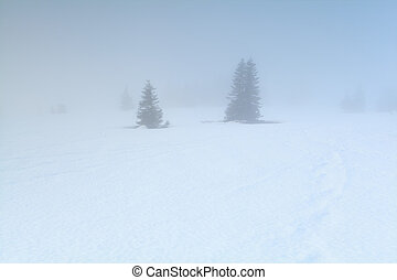 spruce trees in dense fog in winter