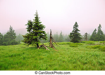 Spruce trees in fog in the mountains