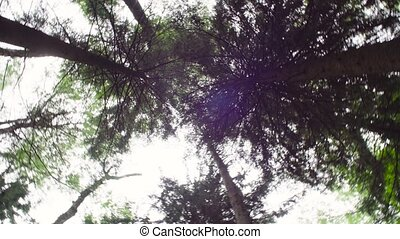 Spruce trees in summer - Panorama. Bottom view of spruce...