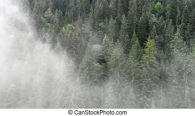 Spruce Trees in the Mist in a Forest of Carpathian Mountains...