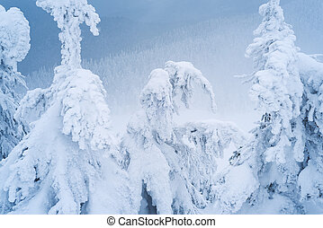 Spruce trees in the snow and hoarfrost