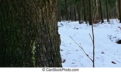 Spruce Trees in Winter Forest, Shot with Slider