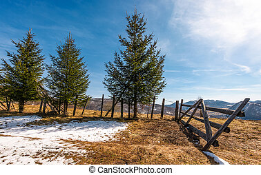 spruce trees near the fence on hillside with weathered grass...