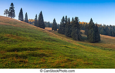 spruce trees on a grassy hill in morning light - spruce...