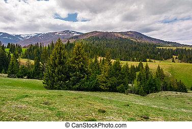 spruce trees on grassy hills in Carpathians. lovely...