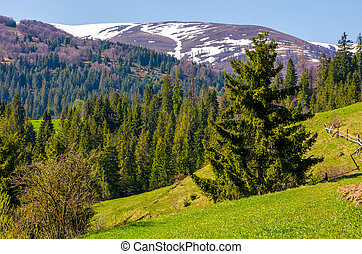 spruce trees on grassy hillside. beautiful springtime...