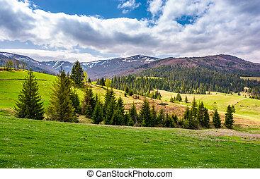 spruce trees on grassy slopes in mountainous area. gorgeous...