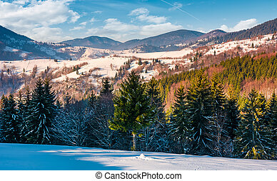 spruce trees on snowy rural hillside in mountains. beautiful...