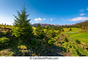 spruce trees over the grassy slope. beautiful springtime...