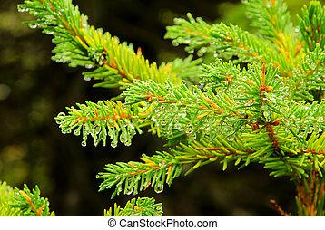 spruce twig 03
