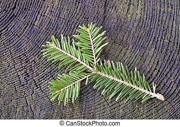Fresh twig spruce on old stump