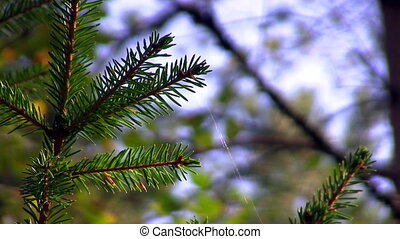 spruce twig with webs