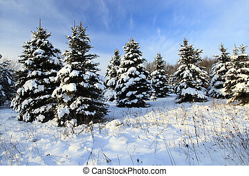 Spruce winter -. fir tree