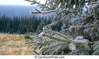 Spruce with hoar - Grass covered with frost, wind shaken....