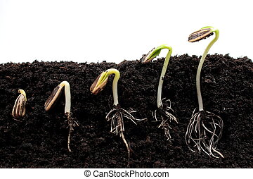 spruiten, germination, zonnebloem, opeenvolging