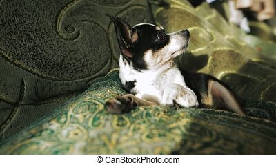 sprytny, chihuahua, stary, spoczynek, sofa., pies, spanie, time., wieczorny