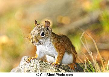 sprytny, closeup, wiewiórka, czerwony