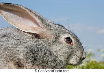 sprytny, królik