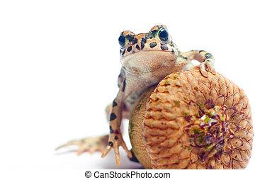 sprytny, mały, żaba, z, żołądź