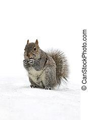 sprytny, mały, wiewiórka